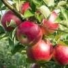 سیب و بهره برداری اقتصادی